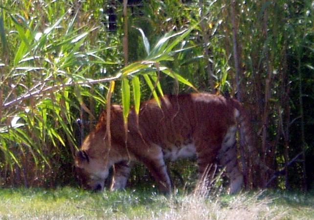 Hijo e'tigre y leon Tigón y ligre