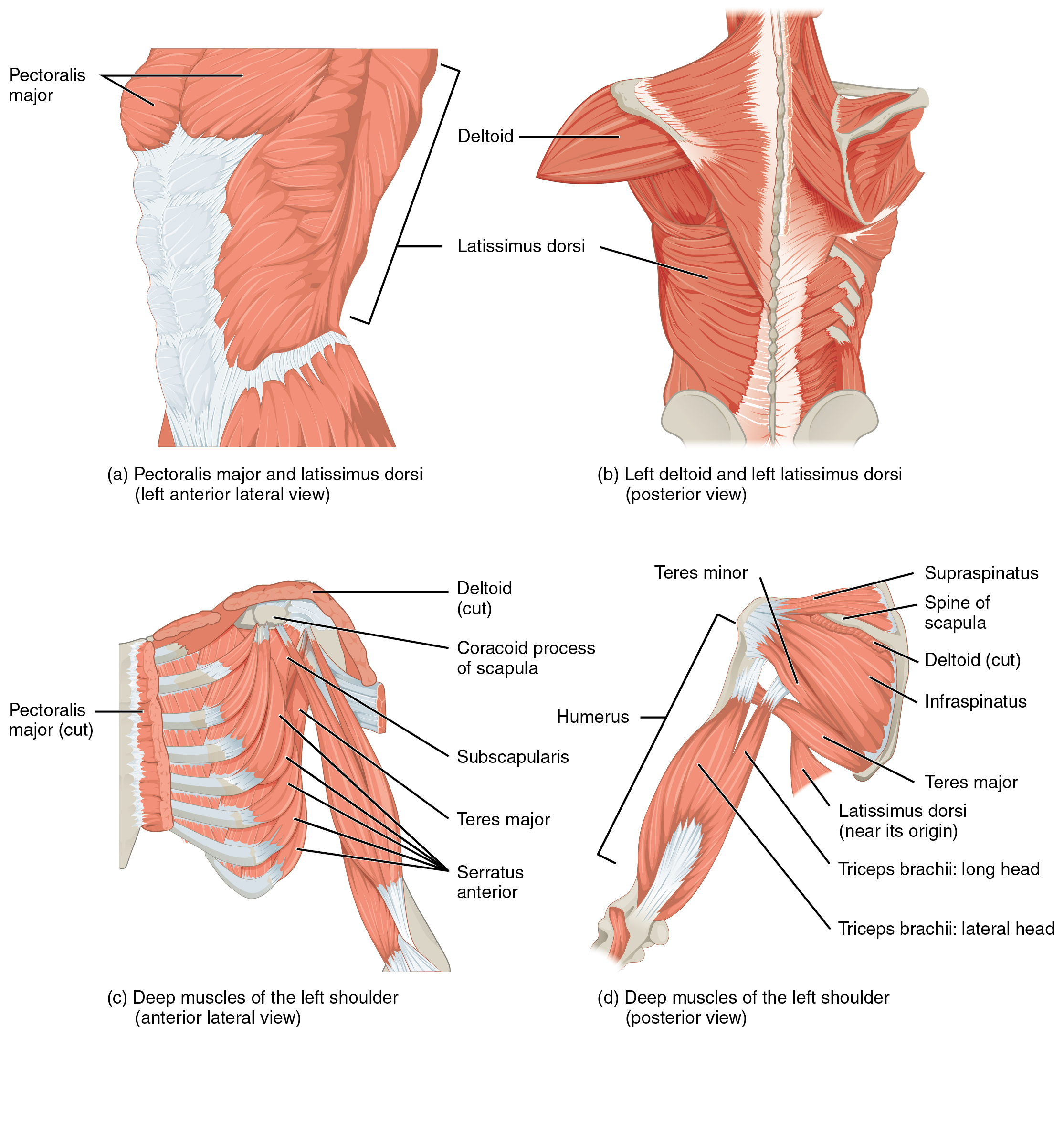 Shoulder External Rotation Muscles Strengthen Shoulder Muscles