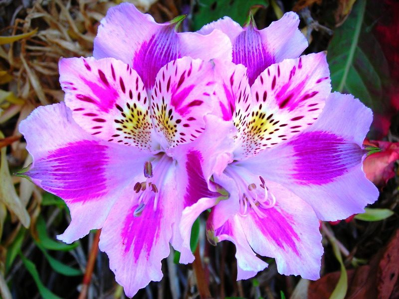 alstroemeria flower meaning  flower, Natural flower
