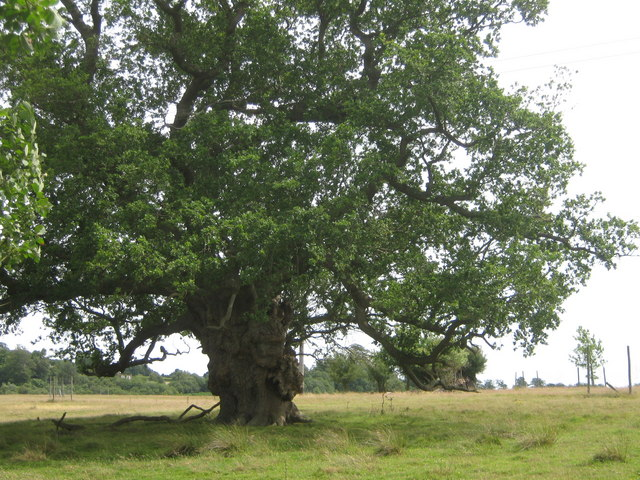 Ancient Oak in field beside Eridge Old Park - geograph.org.uk - 1411990