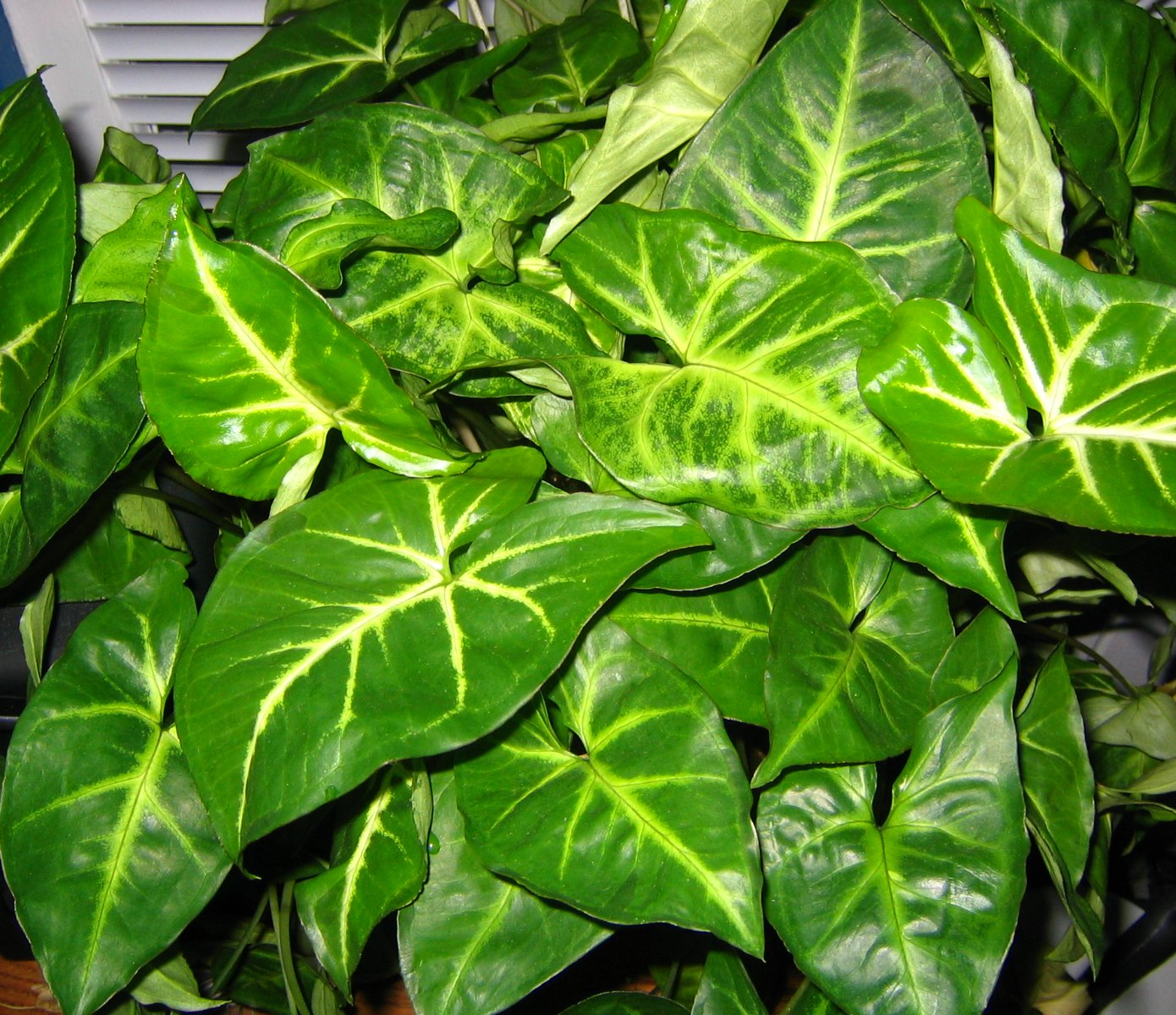 File:Arrowhead Plant 002.jpg