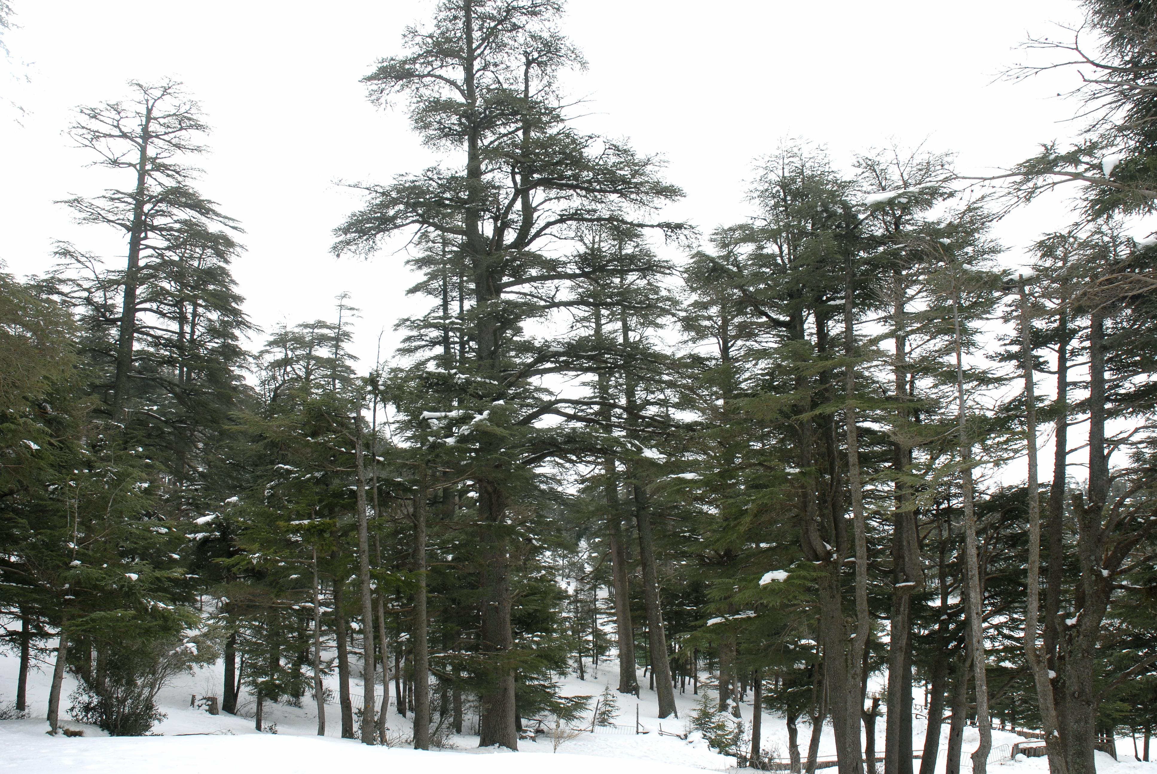 File:Bosque de cedros, montes del Atlas, Ifran.jpg ...