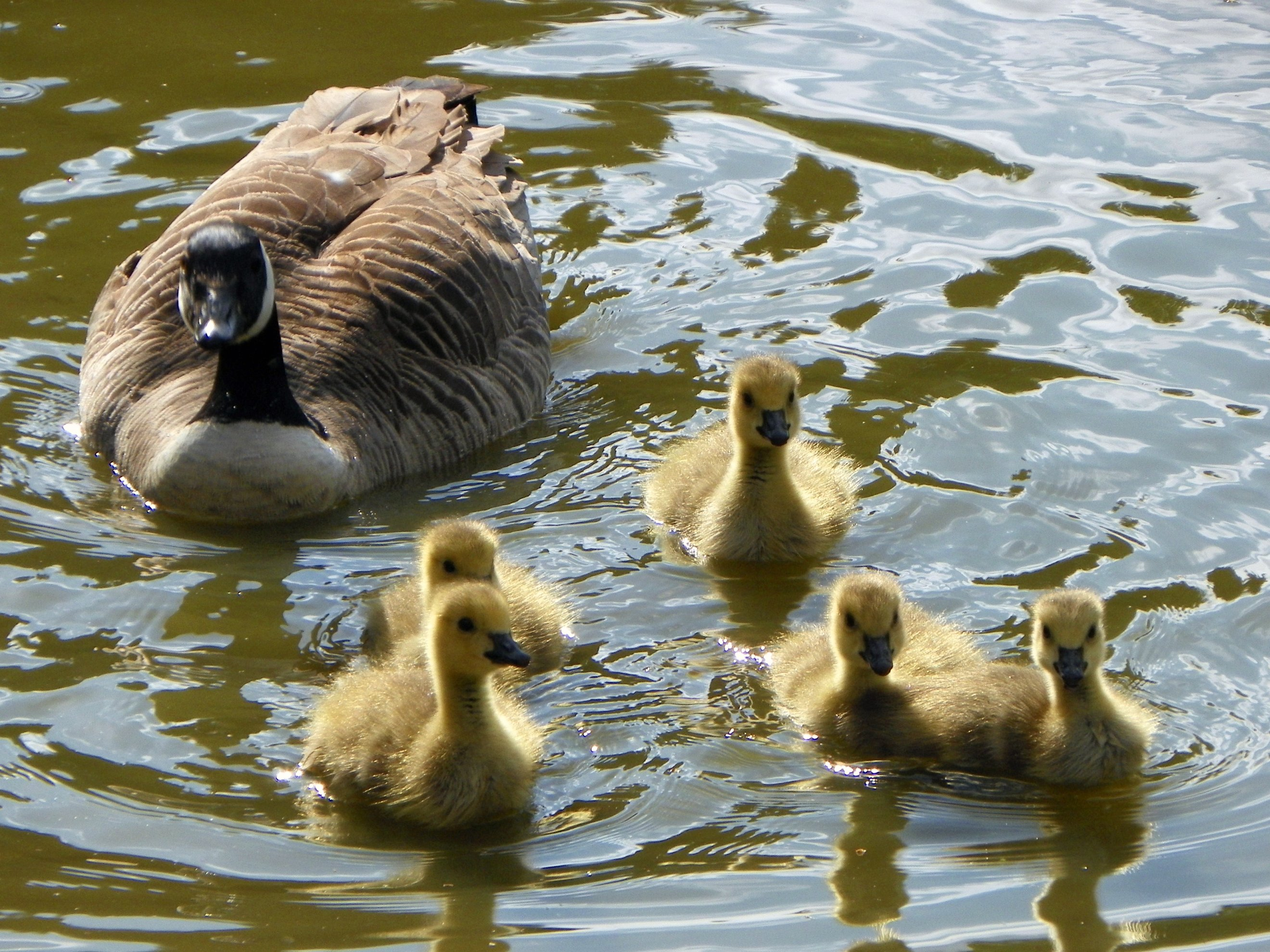 A family of Canada Geese at Fairlands Valley P...