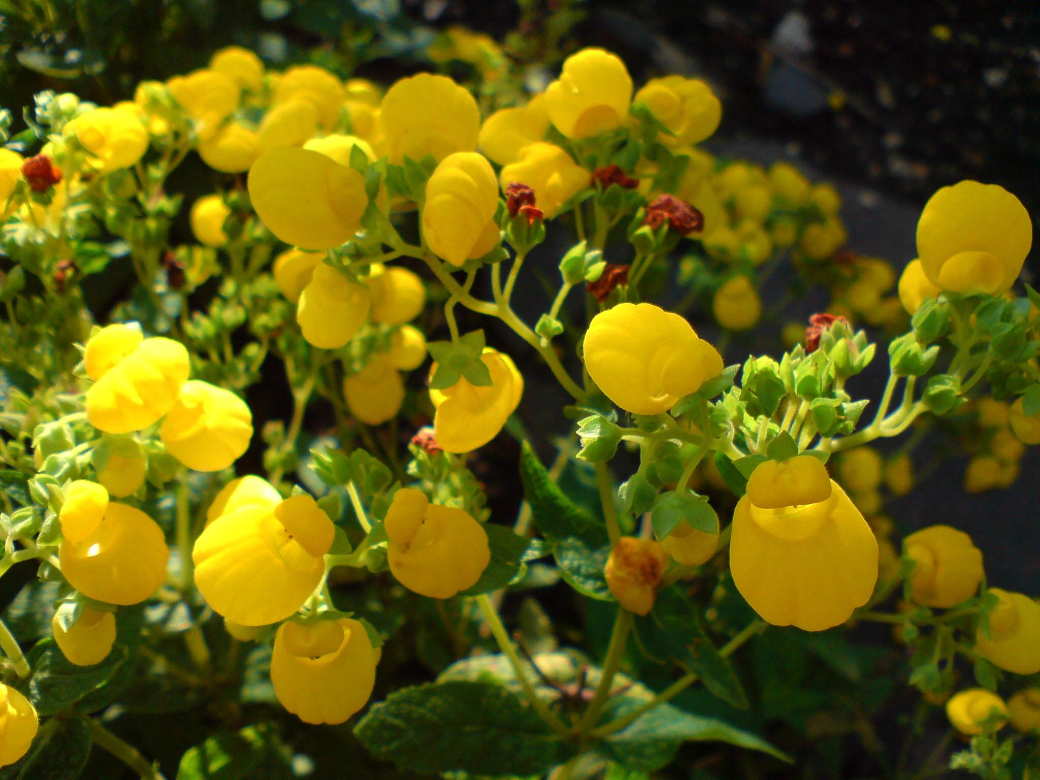 FileCalceolaria Integrifolia Strauch Pantoffelblume 3
