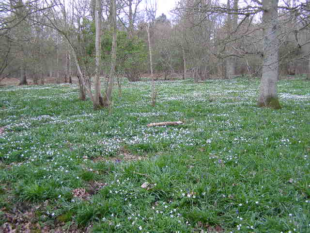 Carpet of Wood Anemone in Bourne Wood - geograph.org.uk - 760533