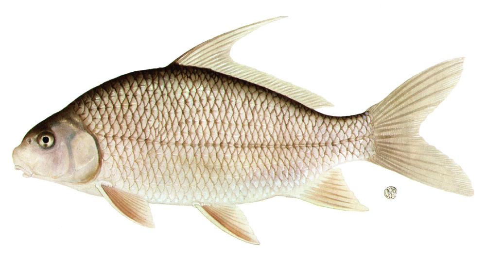Catostomidae