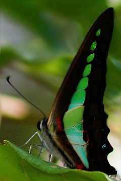 Graphium sarpedon  Foto: Kousik Nandy and Sumana Paul