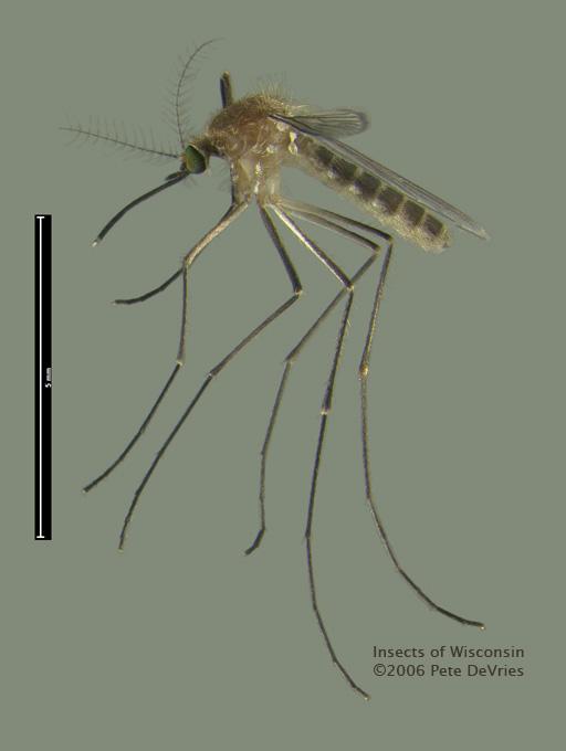 Gemeine Stechmücke – Wikipedia