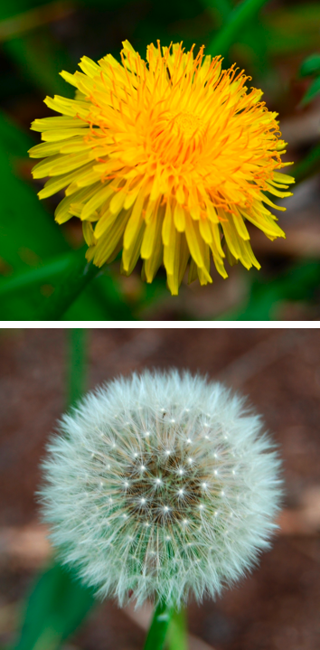 Dandelion (From Wikipedia)