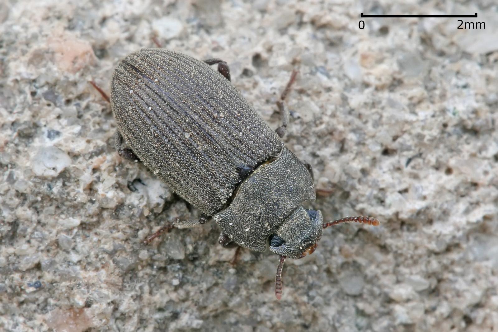 Darkling beetle wikipedia darkling beetle sciox Images