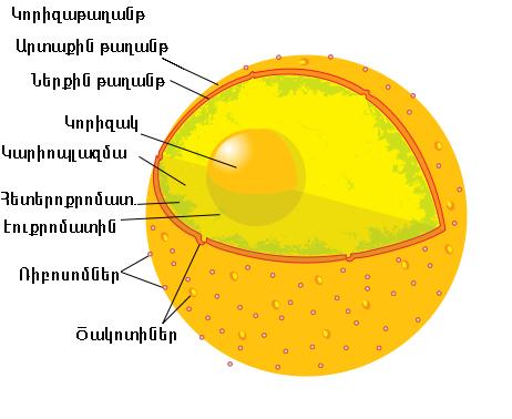 Բջջակորիզ - Վիքիպեդիա՝ ազատ հանրագիտարան