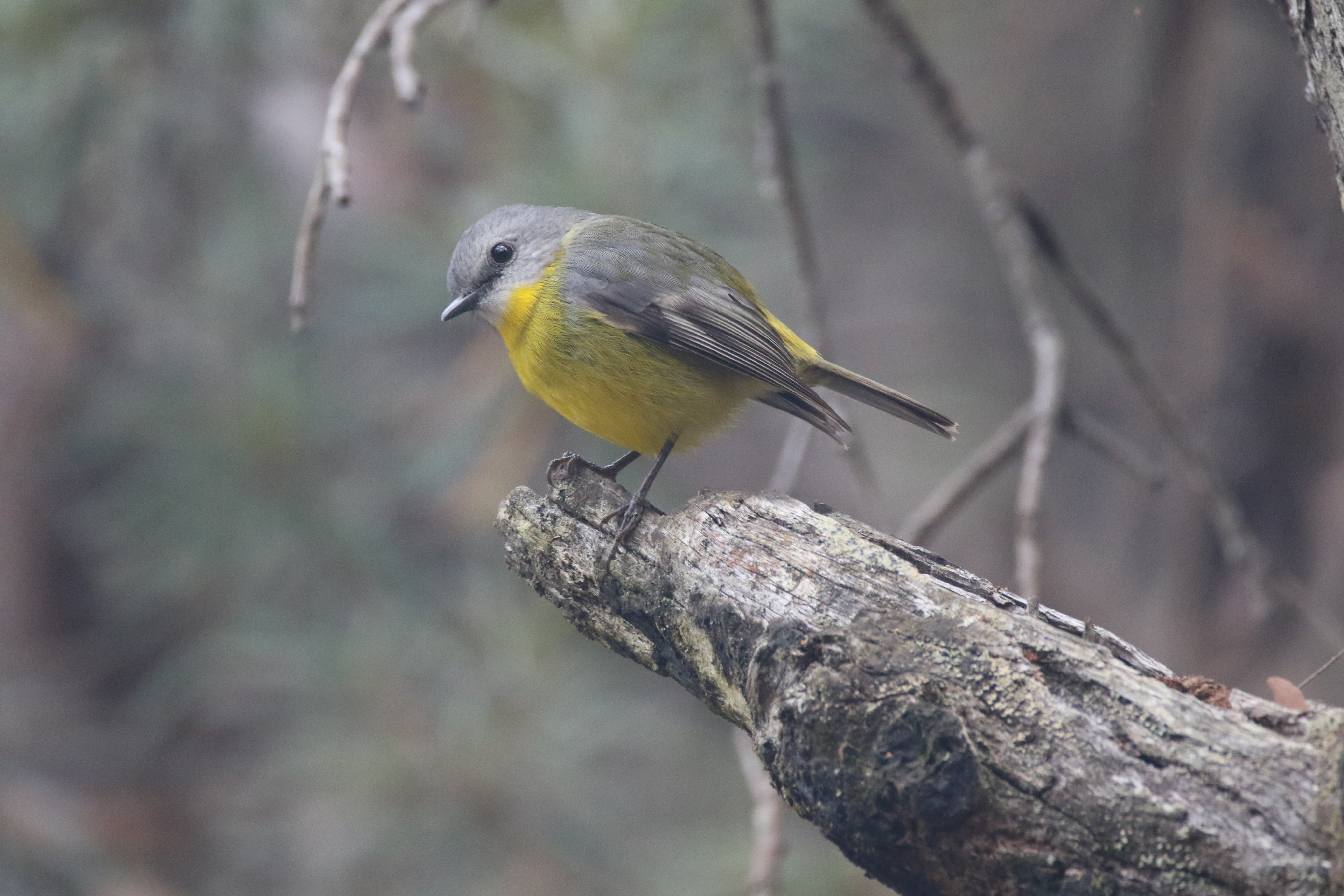 File Eastern Yellow Robin Eopsaltria Australis Of The Blue Mountains Nsw Australia Jpg Wikimedia Commons