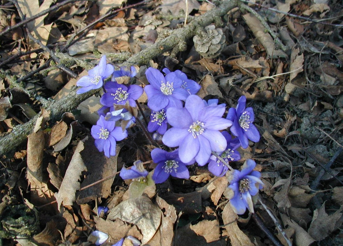 Hepatica nobilis: Flowers.