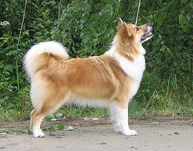 berger allemand à poil long