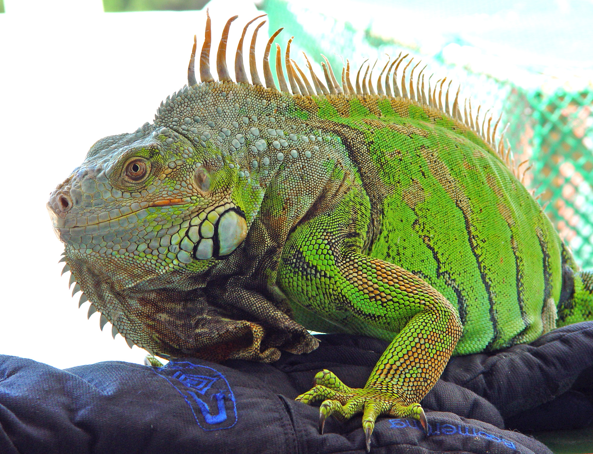Image Result For Green Iguana Coloring