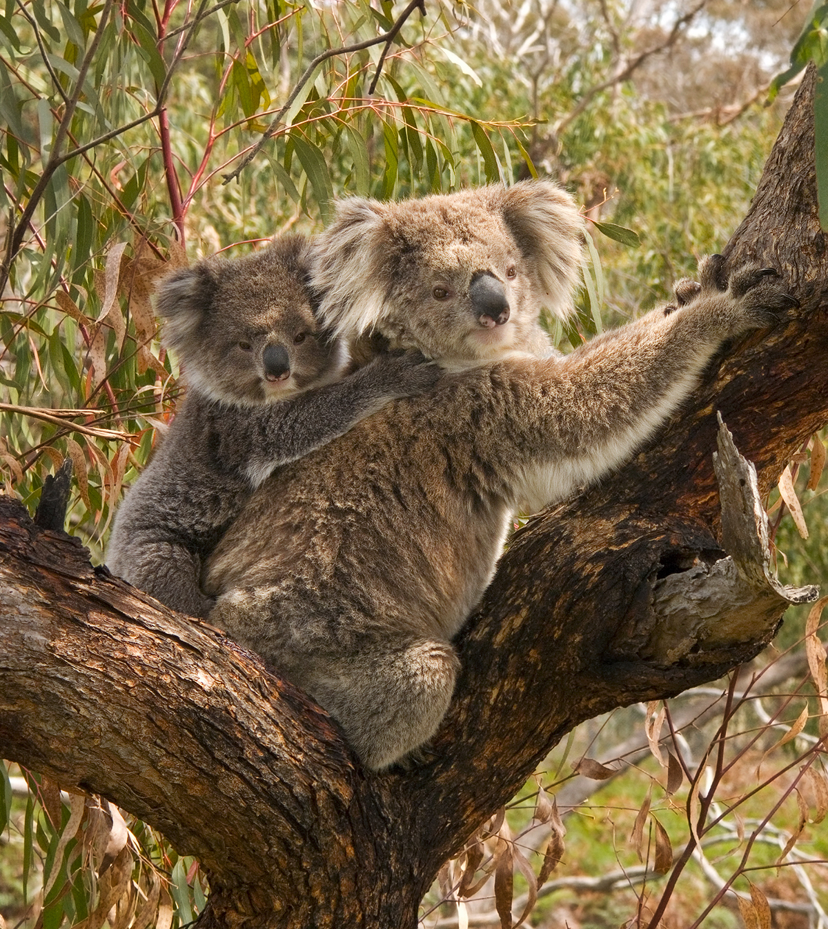 koala reproduction and development