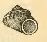 Leptothyra nanina 001.jpg