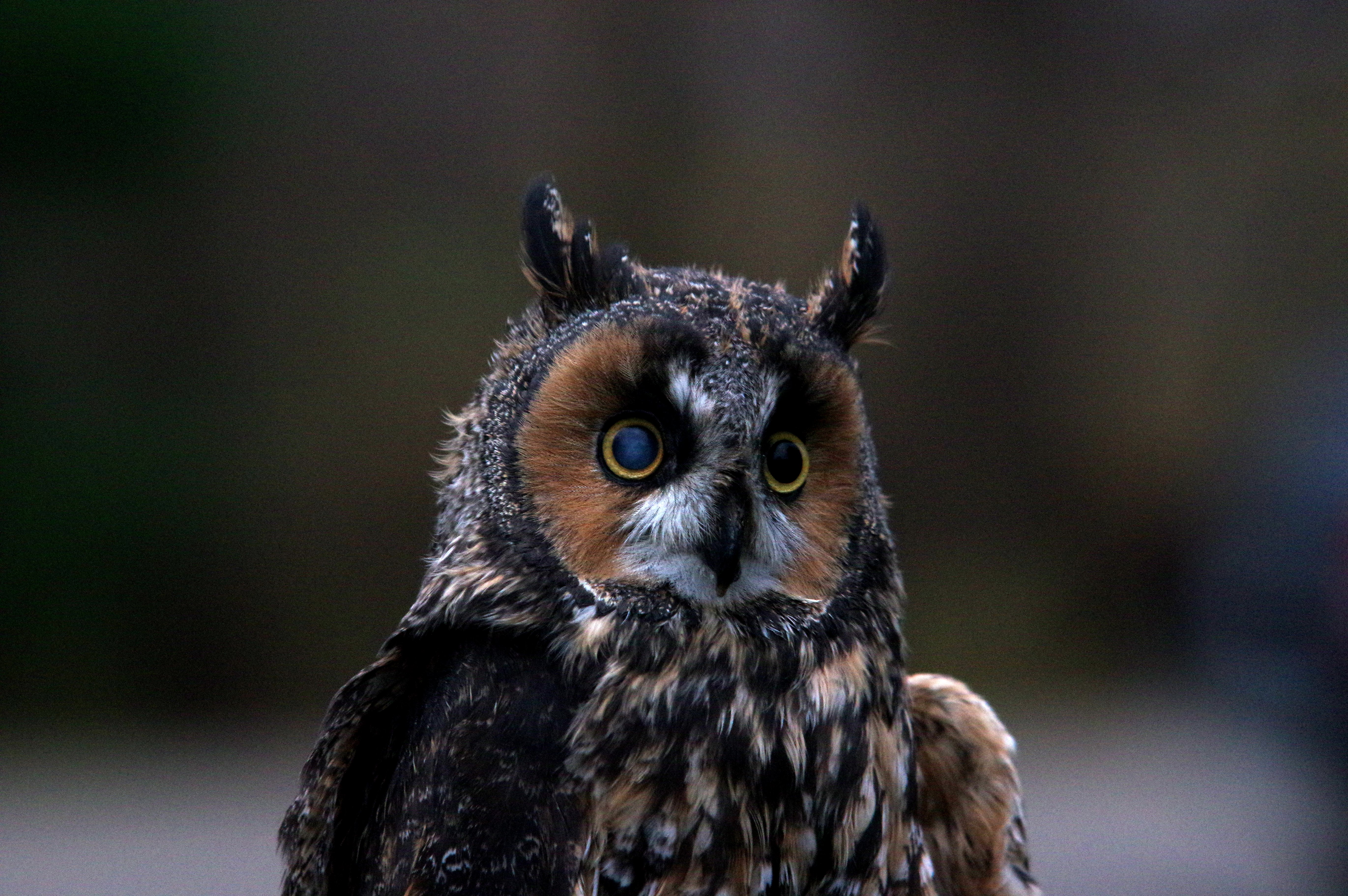 Taiga Animals : Long Eared Owl
