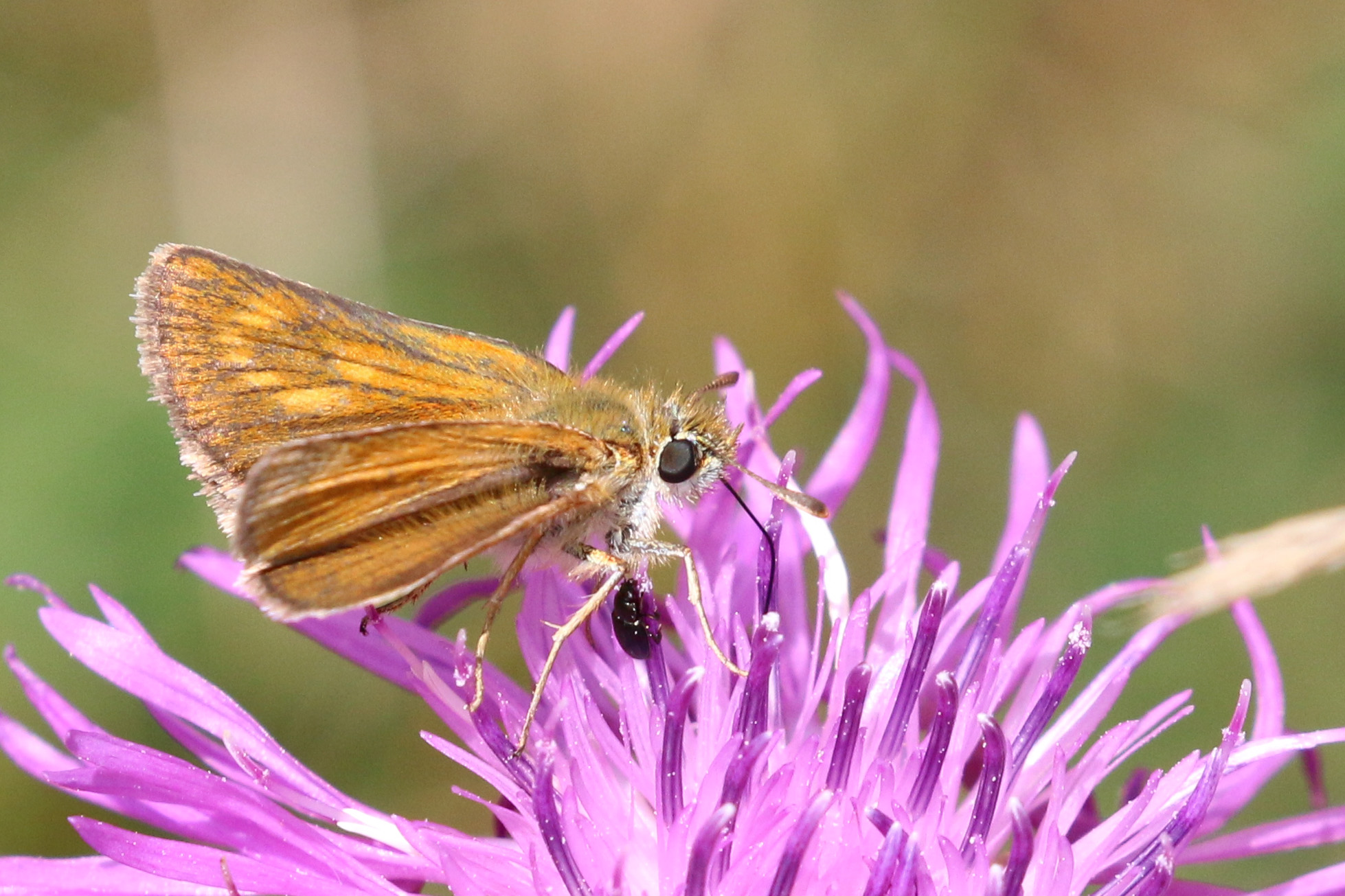 Lulworth skipper (Thymelicus acteon) female 2.jpg