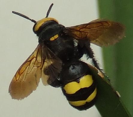 Black Bumble Bee >> Mammoth wasp - Wikipedia