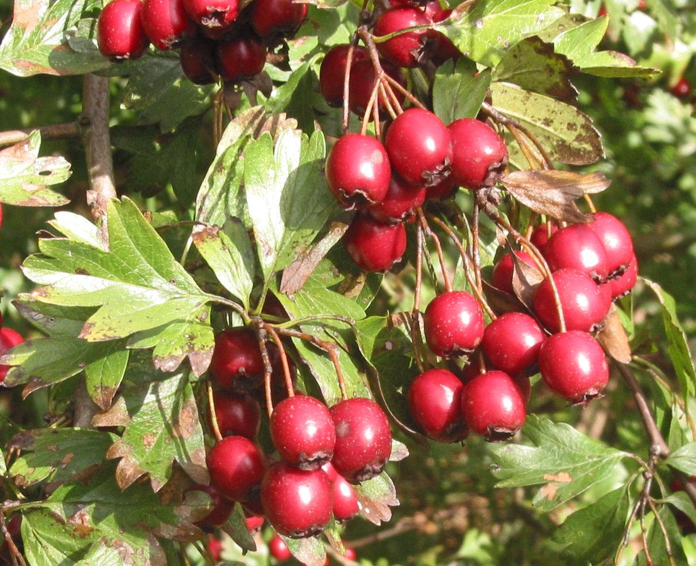 Bestand Meidoorn vruchten