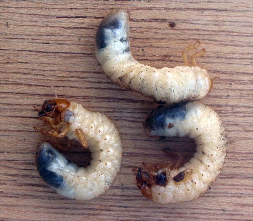 Chrúst obyčajný - larvy