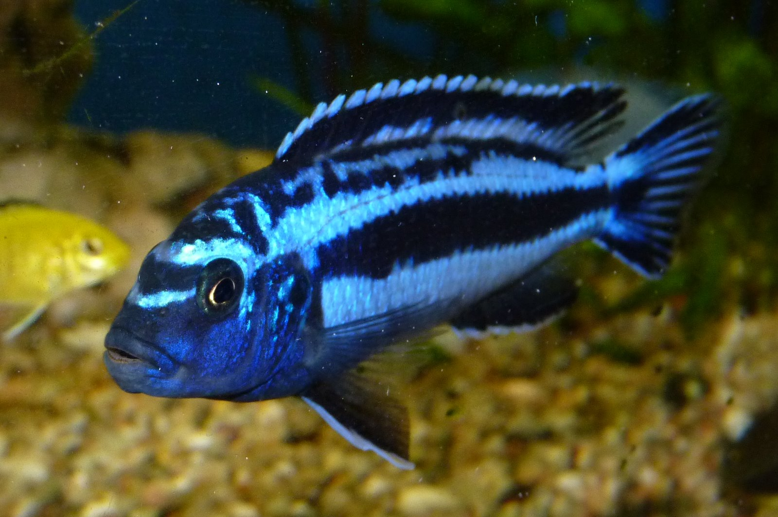 electric blue african cichlid -#main