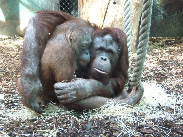 File orang outang jardin des plantes jpg wikimedia commons for Animaux jardin des plantes