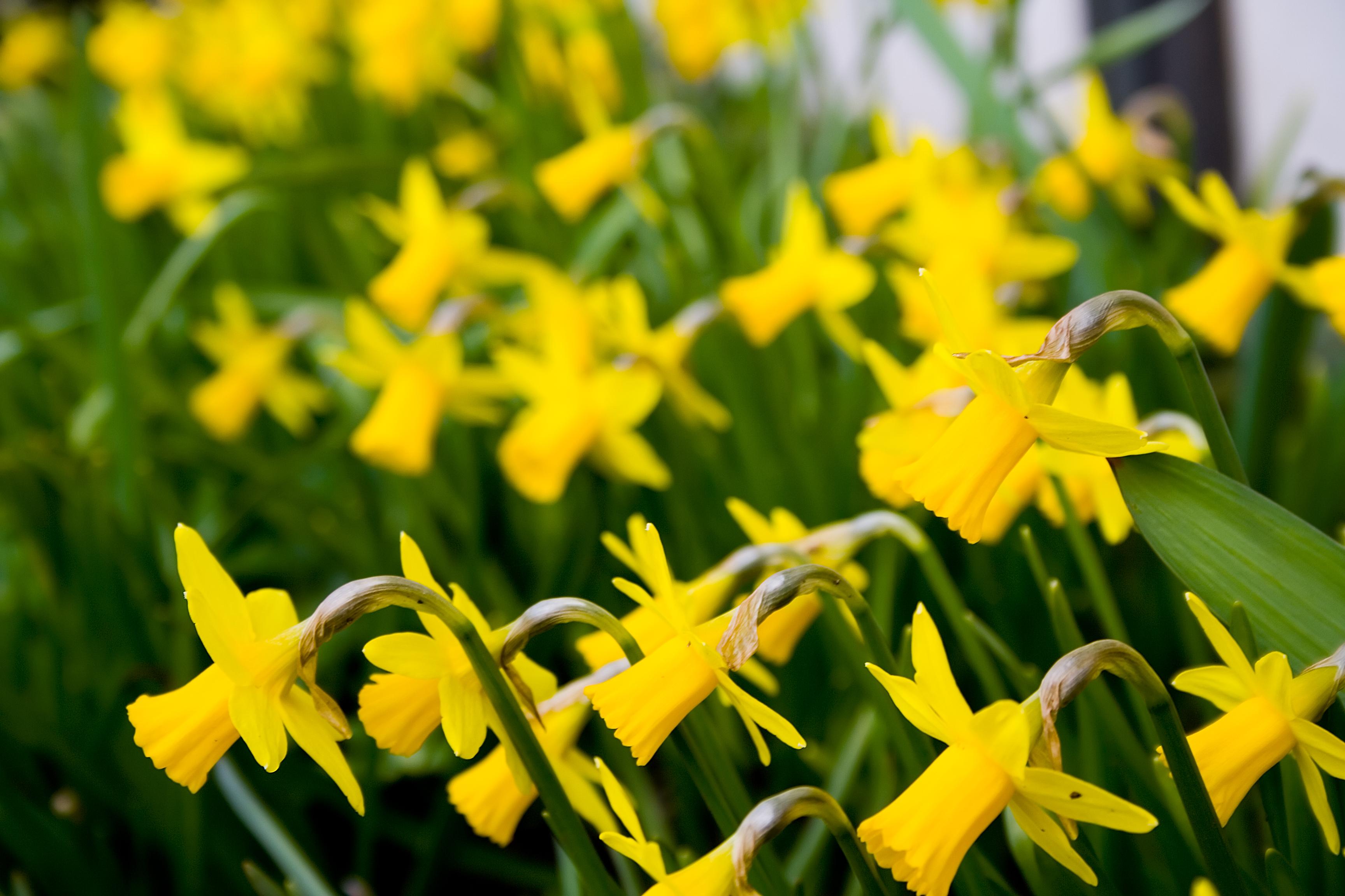 Bilderesultat for påskeliljer