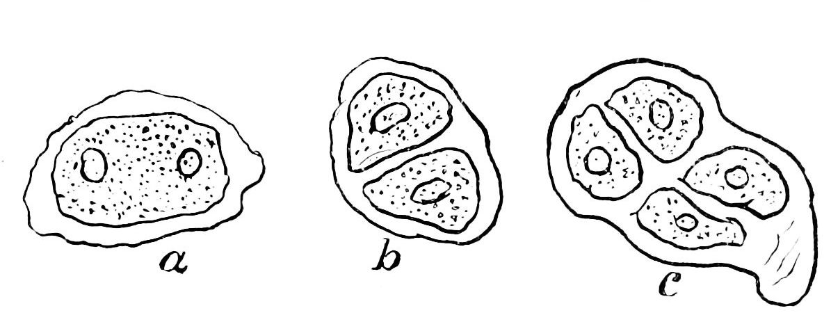 PSM V39 D353 Mother cell nuclei and divisions.jpg