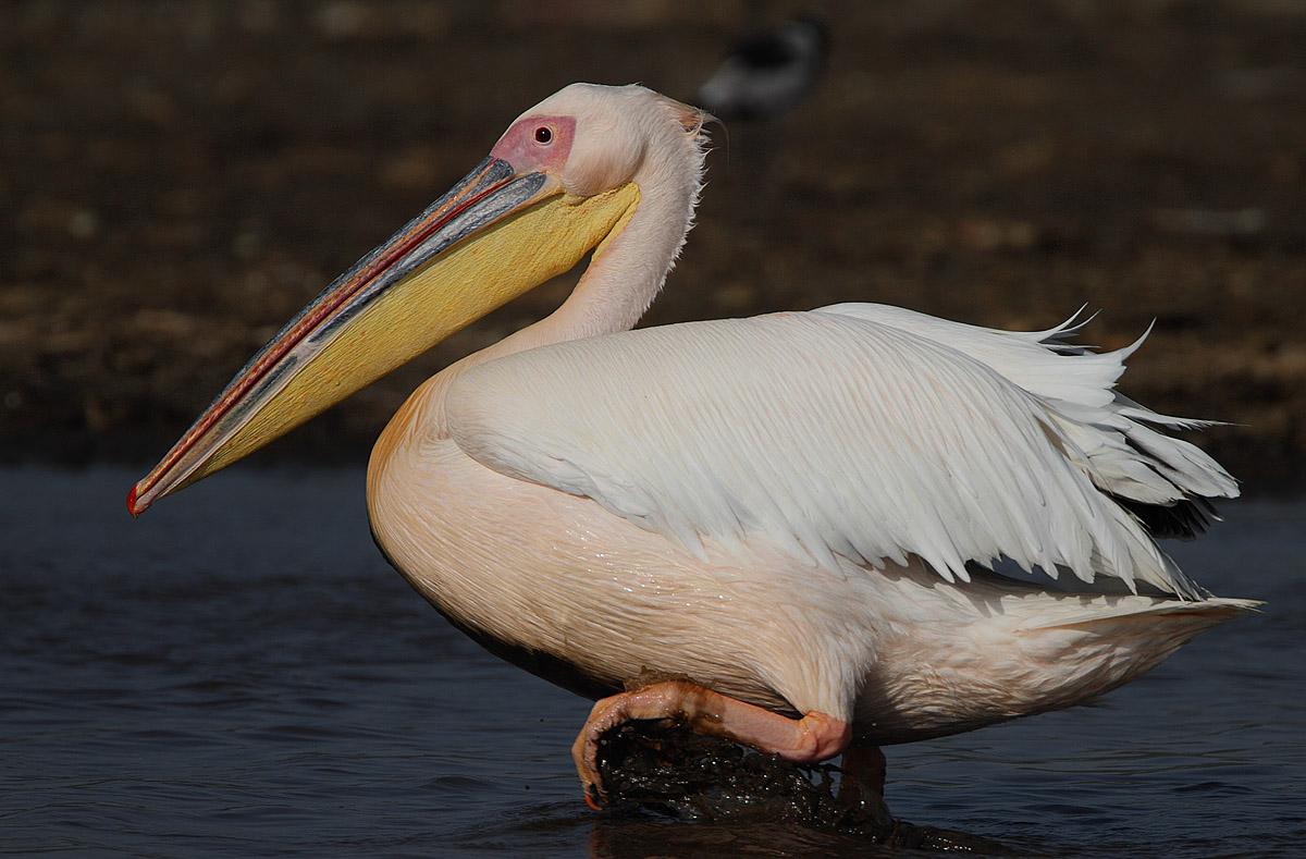 The Peicans On Ferniadina Beach Florida