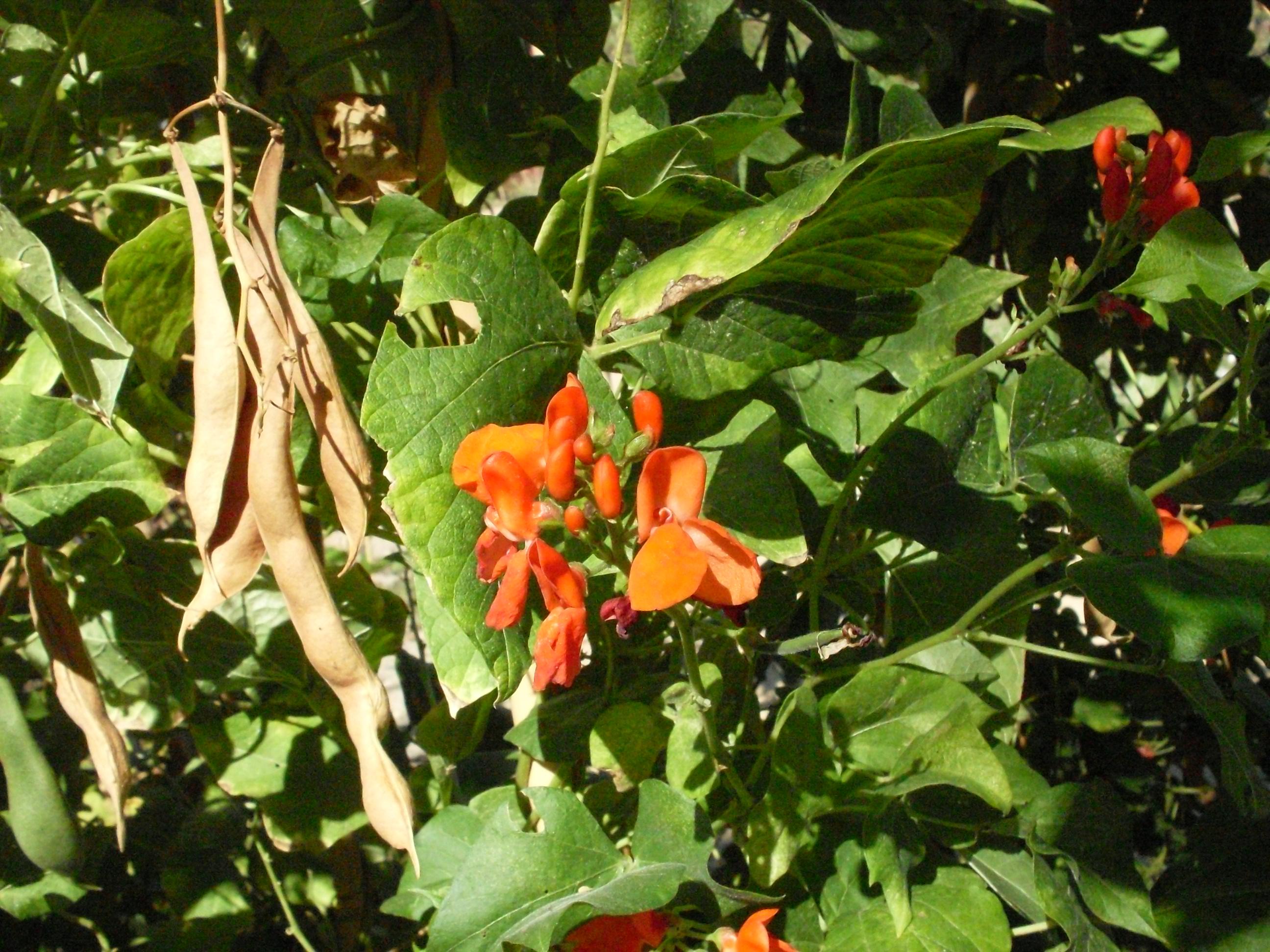 Цветок турецкие бобы фото