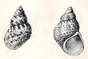 Phasianella nivosa 001.jpg