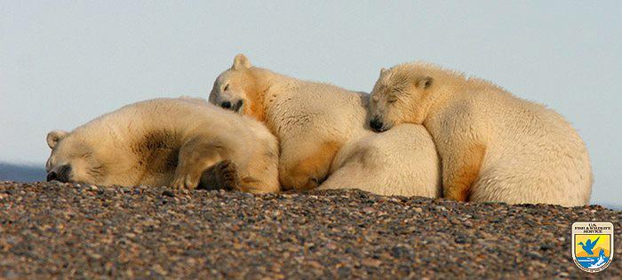 polar bears snuggling in artic refuge