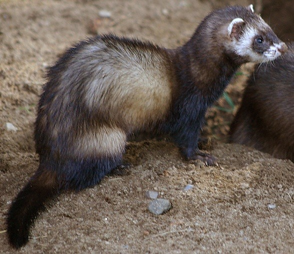 Image result for polecat