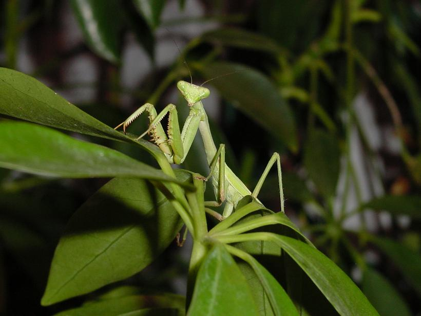 File:Praying Mantis.jpg