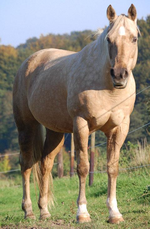 Show Quality Paint Horses For Sale