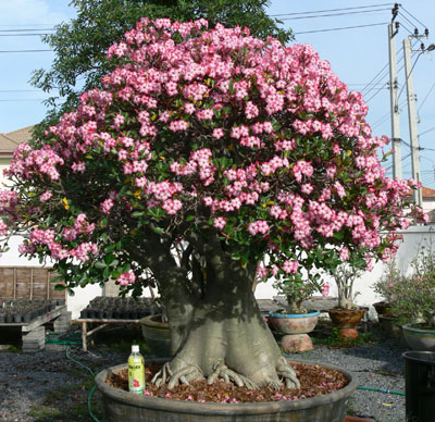adenium en fleurs