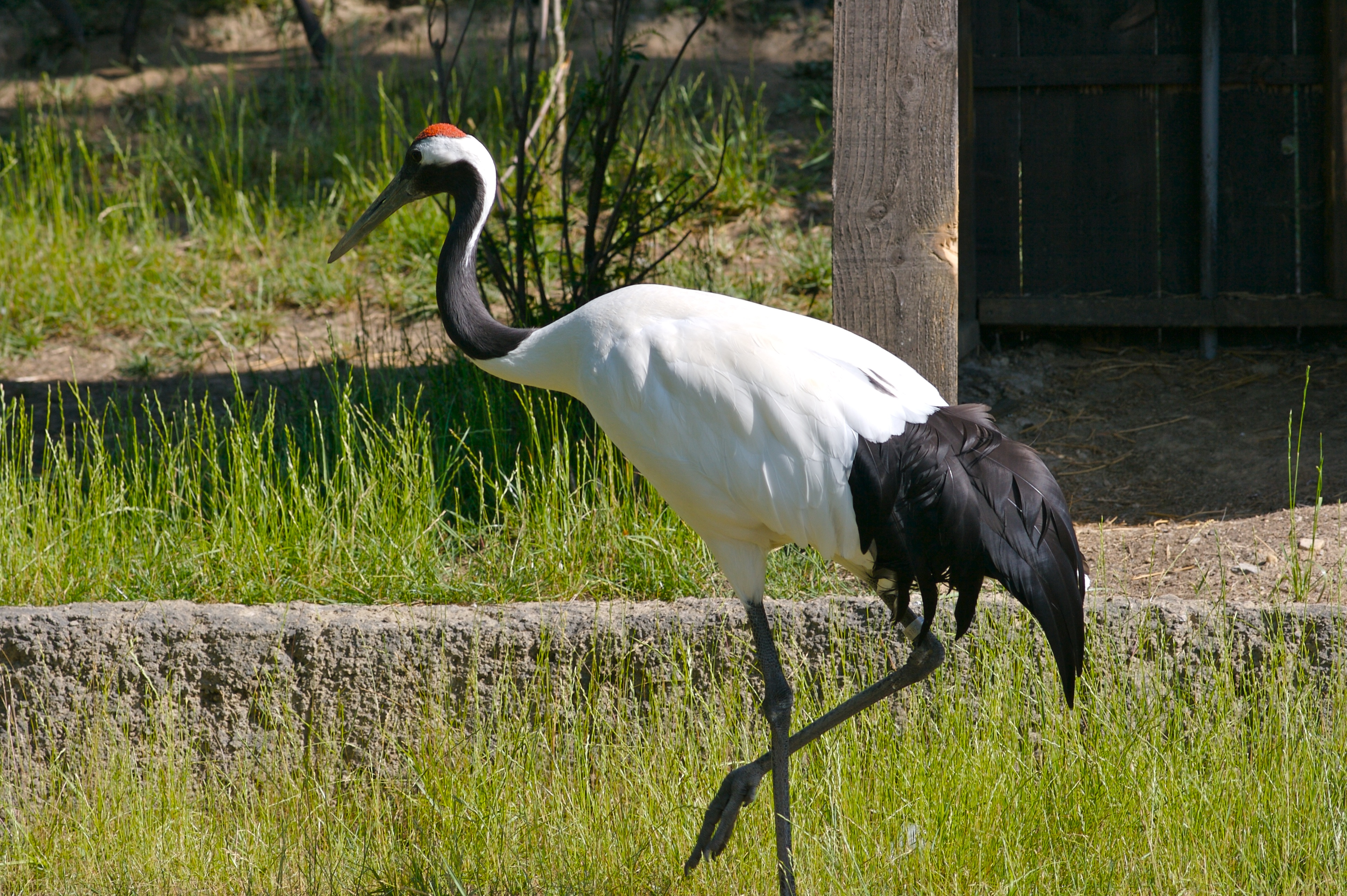 file red crowned crane 1 jpg wikimedia commons