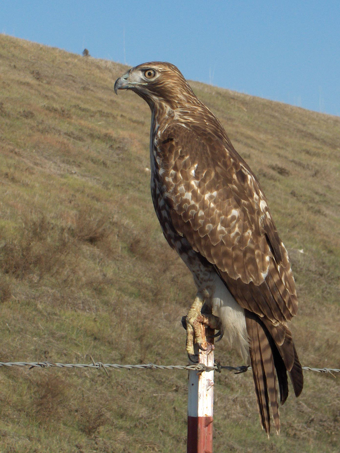 Red Tail Hawk.JPG