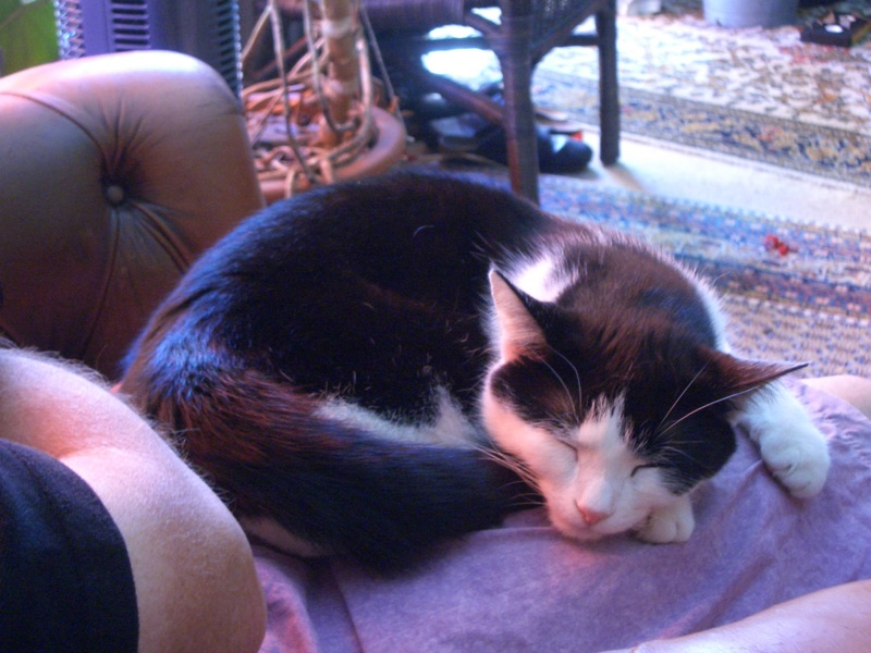 File:Sleeping Cat on lap.jpg