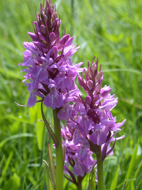 Southern Marsh Orchid File:southern Marsh Orchid