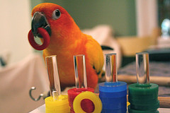 Pet Sun Conure (Aratinga solstitialis) demonst...