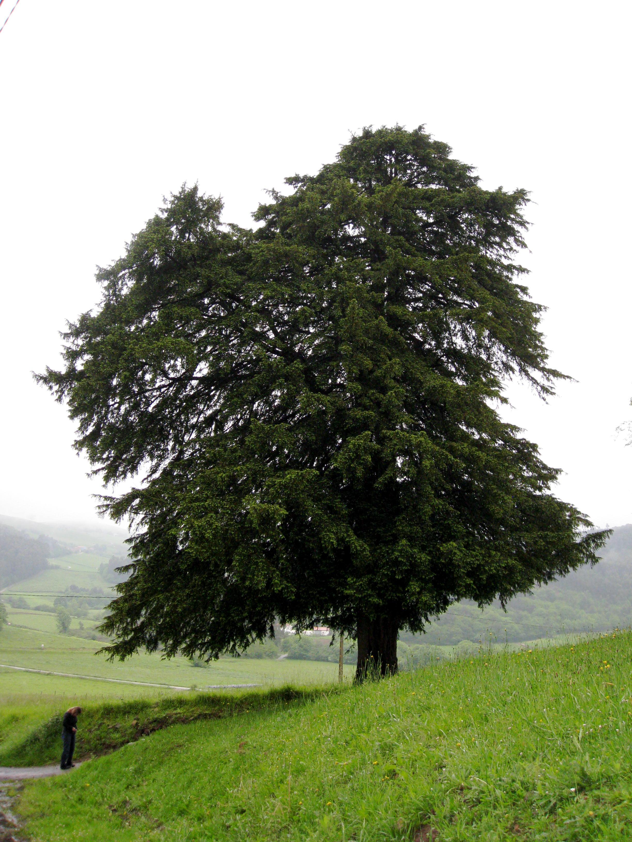 lemn de tisa