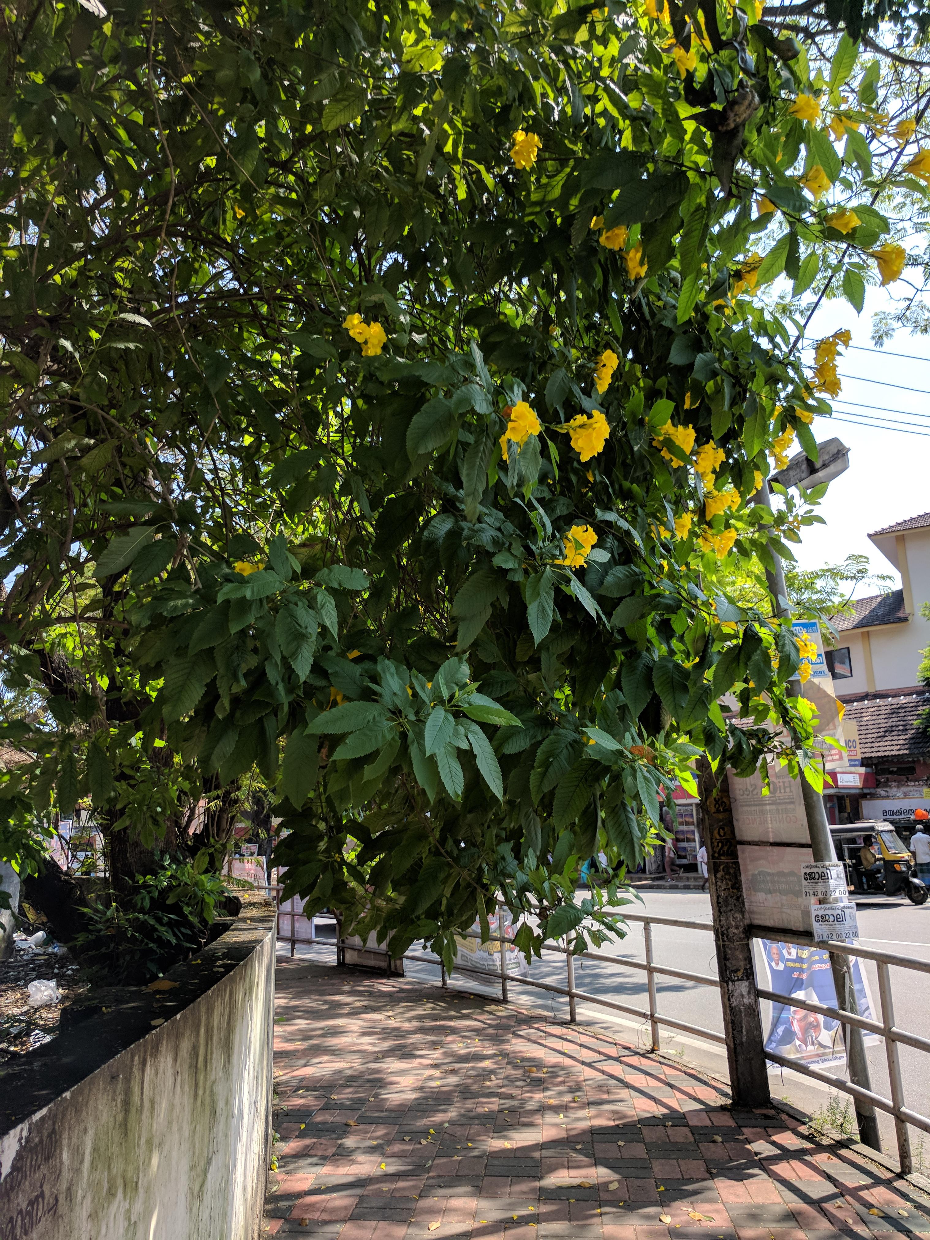 Filetecoma stans yellow bell flower 30g wikimedia commons filetecoma stans yellow bell flower 30g mightylinksfo
