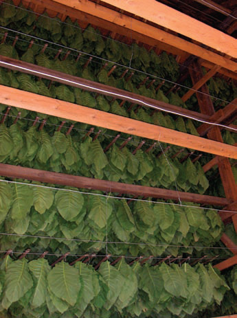 File Tobacco Leaves Drying Jpg Wikipedia