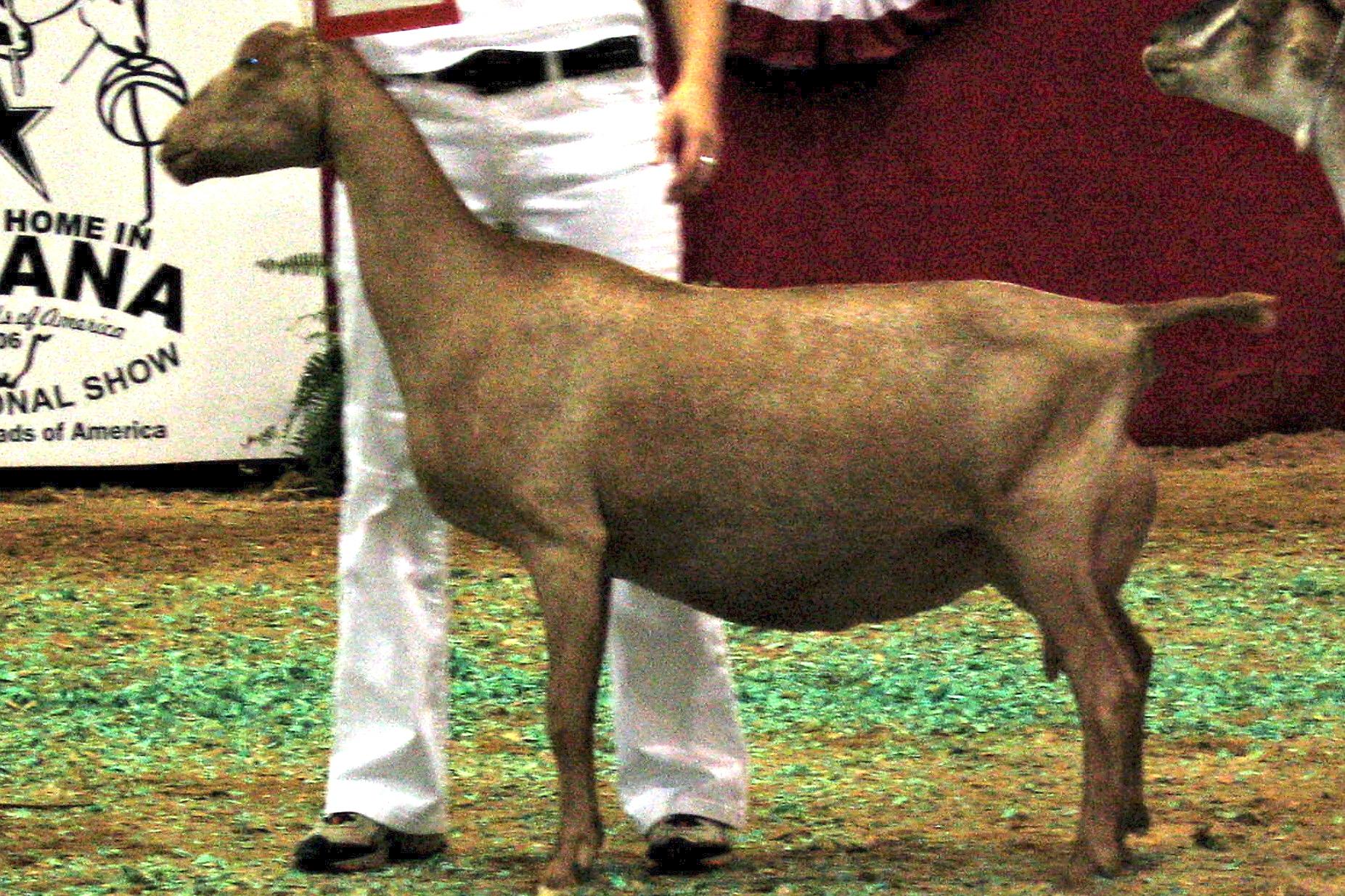 American Lamancha goat - Wikipedia