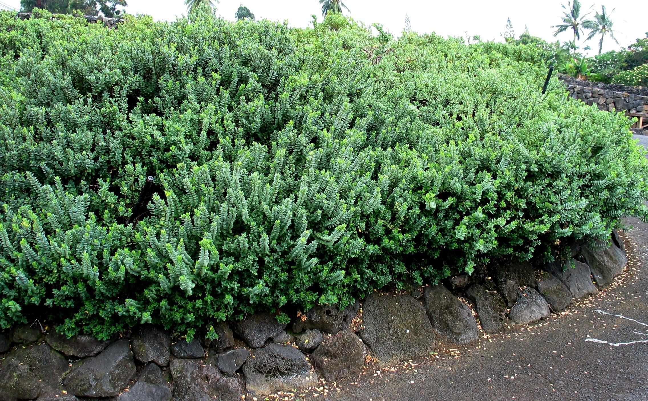 File:Wikstroemia uva-ursi var. uva-ursi (5187961977).jpg - Wikimedia ...