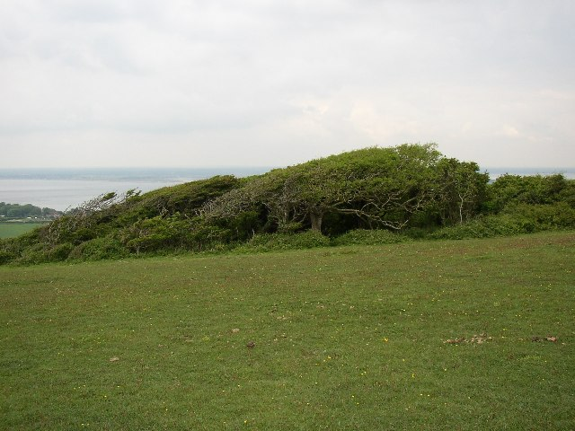 Wind-sculpted Trees, Tennyson Down, Totland - geograph.org.uk - 53746