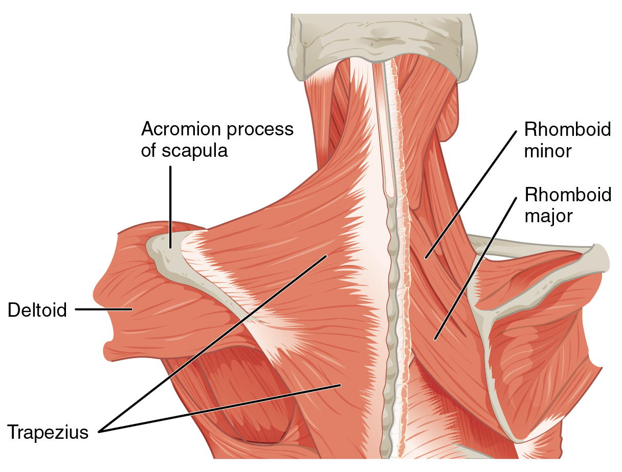 File:1118 Muscles that Position the Pectoral Girdle posterior.png ...